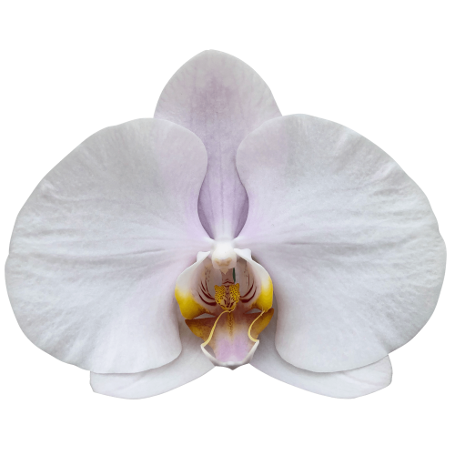 Snij Phalaenopsis by Walter Grootscholten Orchid Alpha Soft Pink