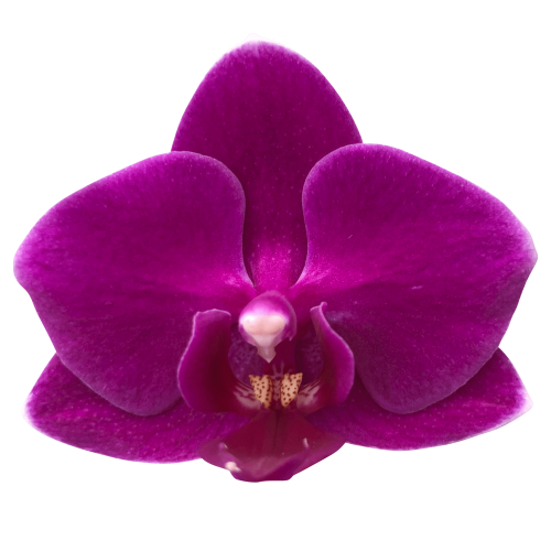 Snij Phalaenopsis by Walter Grootscholten Orchid Baby Purple