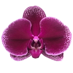 Snij Phalaenopsis by Walter Grootscholten Orchid Lie de Vin Burgundy Red