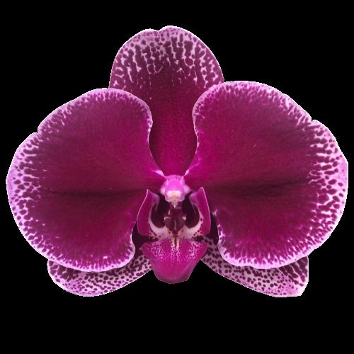 Snij Phalaenopsis by Walter Grootscholten Orchid Lie de Vin Burgundy Red