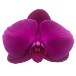 Snij Phalaenopsis by Walter Grootscholten Orchid Purple Passion