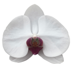 Snij Phalaenopsis by Walter Grootscholten Orchid Red Lip