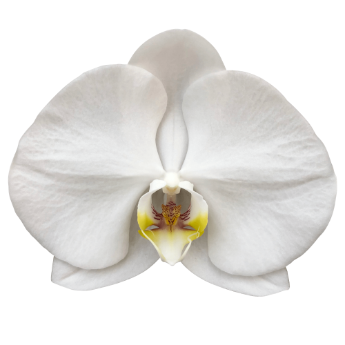 Snij Phalaenopsis by Walter Grootscholten Orchid Sensation White
