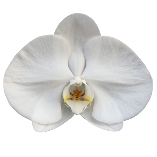 Snij Phalaenopsis by Walter Grootscholten Orchid Sensation White X Large
