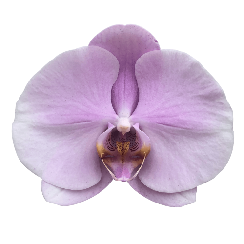 Snij Phalaenopsis by Walter Grootscholten Orchid Tikal Pink