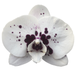 Snij Phalaenopsis by Walter Grootscholten Orchid Wine Drops