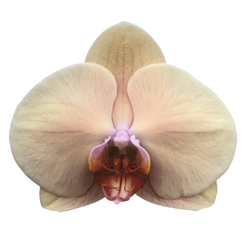 Snij Phalaenopsis by Walter Grootscholten Orchid Royal Peach