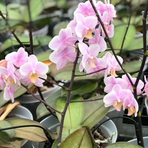 Snij Phalaenopsis by Walter Grootscholten Orchid Baby Pink