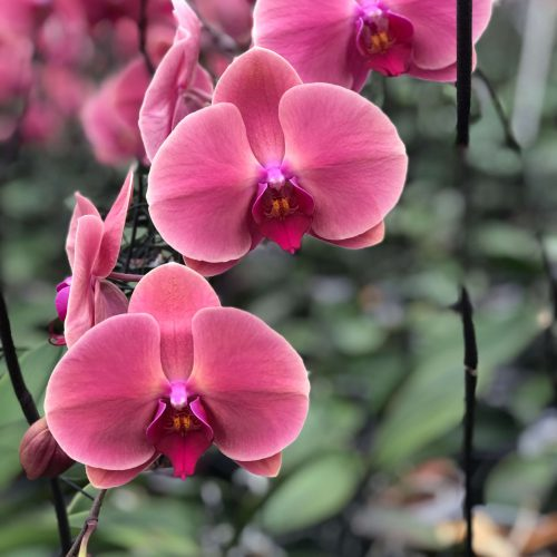 Snij Phalaenopsis by Walter Grootscholten Orchid Coral Sunset Red