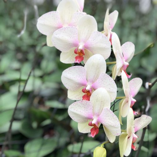 Snij Phalaenopsis by Walter Grootscholten Orchid Omega Creme