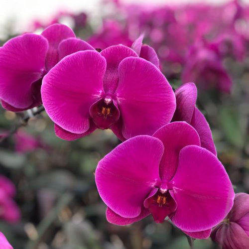 Snij Phalaenopsis by Walter Grootscholten Orchid Purple Haze