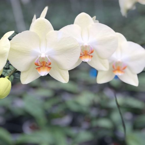 Snij Phalaenopsis by Walter Grootscholten Orchid Rising Sun Yellow Creme
