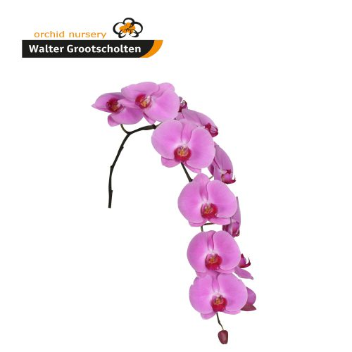 Snij Phalaenopsis by Walter Grootscholten Orchid Happy Valentina Hot Pink Cerise