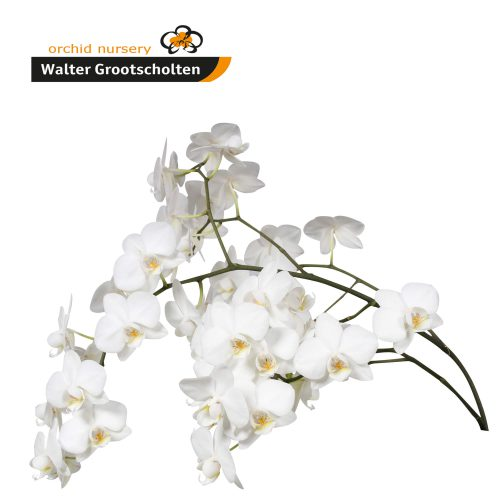 Snij Phalaenopsis by Walter Grootscholten Orchid Venice White